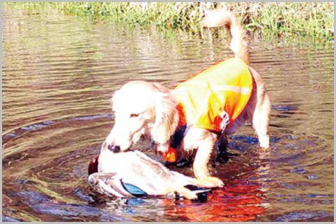 ミニチュアダックスはれっきとした猟犬がルーツ