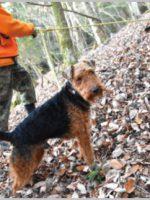 ウェルシュ・テリアはイギリス原産の狩猟犬